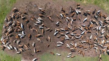 Vista aérea de las vacas vista desde el vuelo del drone sobre pastos en el campo foto
