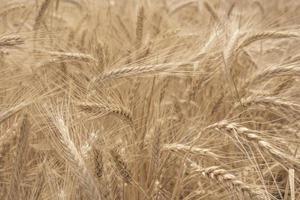 rye field wallpaper photo