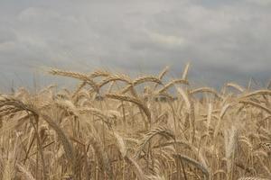 rye field Wheat wallpaper photo
