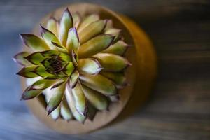 shot of a green aloe succulent plant on a wood background photo