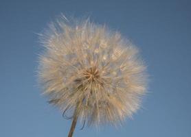 big white dandelion against the blue sky wallpaper photo