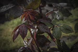 Rosal en gotas de lluvia color dramático foto