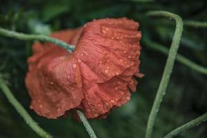 una amapola escarlata inclinó la cabeza bajo el papel tapiz de las gotas de lluvia foto