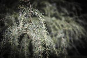 ramitas de coníferas en la postal de primavera foto
