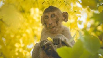 Portrait baby macaque on a Cassia fistula tree photo