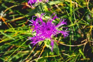aciano alpino púrpura foto