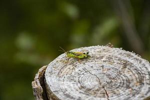 Cricket on stump photo