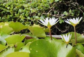 flores de lirio de agua que florecen en un estanque foto