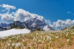 floración del azafrán después de la disolución de la nieve en primavera foto