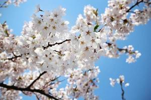 White japanese cherry blossoms on blue sky background photo
