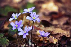 Violet snowdrop flowers on sunny day in last year brown leaves photo