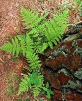 Helecho joven brotando de debajo de la corteza de un árbol sobre fondo de hierba seca foto