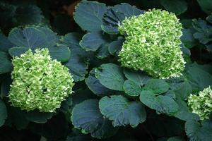 seto de jardín con pequeñas flores verdes con hojas oscuras foto