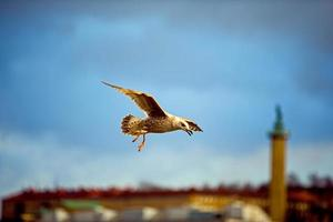Herring gull with city silhouette in the background photo