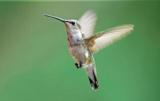 Black chinned hummingbird female photo
