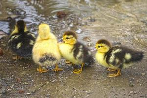 Portrait of small yellow and brown ducklings photo
