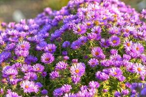 Natural background with blooming purple September flowers photo