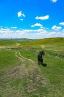 Young black bull on a green field background photo