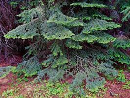 Hemlock Design in the woods along FR400 northwest of Camp Sherman OR photo