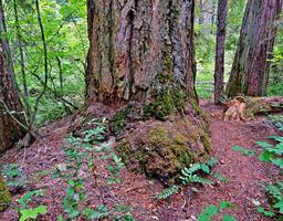 Forest Serenity in the woods at Mill Creek Campground north of Prospect OR photo