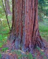 Cedar Tree Trunk on Rhododendron Ridge near the North Umpqua River OR photo
