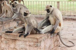 Langur gris de las llanuras del norte en Chittorgarh, Rajasthan, India foto