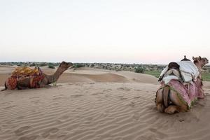 Camels in the desert at Jaisalmer, Rajasthan India photo