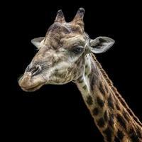 cabeza de jirafa aislada en negro foto