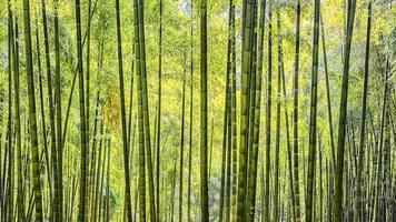 bosque de bambú de arashiyama en kyoto foto