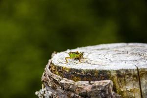 Cricket on wooden stump photo