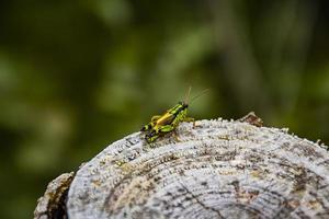 Cricket on a stump photo