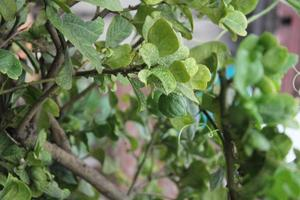 Scene of a hanging lemon and lemon tree is hanging in the air photo