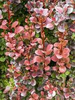 Hermosas hojas de bronce en un arbusto de agracejo japonés foto