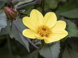 hermosa variedad de dalia amarilla duque de york foto