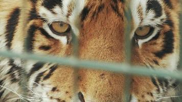 muzzle of amur tiger video