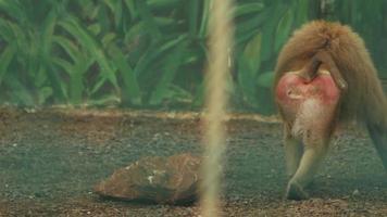 babuíno vai e depois senta no chão video