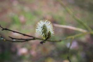 el elegante capullo de una ramita de sauce está en flor foto