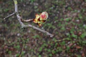 Closed chestnut bud photo
