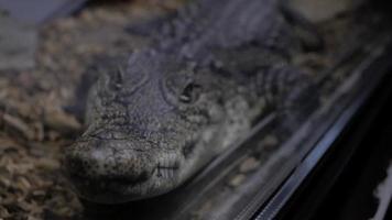 Alligator Cayman Crocodile video