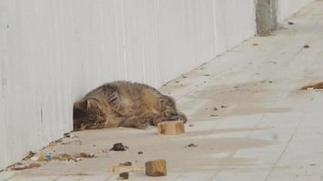 gato grande se da vuelta video