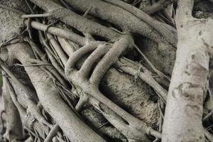 fuertes raíces de árboles foto