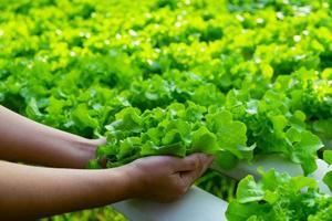 el granjero sostiene el roble verde vegetal foto