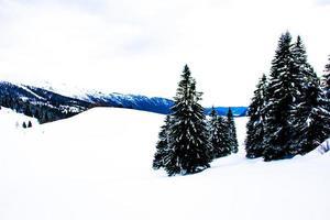 pinos y nieve foto