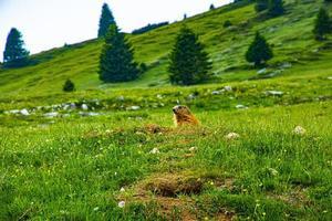 Marmot and wildflowers photo