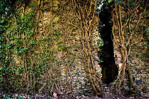 pared de revestimiento de hiedra foto
