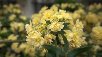 Makro-Dolly-Aufnahme von gelber Wildrose Efeublüte im Garten aus nächster Nähe video