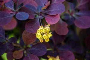 flores amarillas de agracejo foto