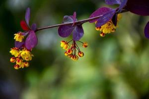 colgando flores de agracejo amarillo foto