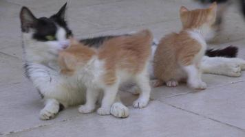 Stepmother Cat Breastfeeding Her Kitten On Concrete Floor video