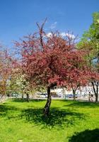 Red flowers of blooming apple tree in spring in the rays of sunlight photo